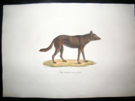 Saint Hilaire & Cuvier C1830 Folio Hand Colored Print. Black Wolf